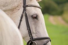 Holsteiner Percy 1