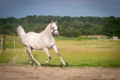 Holsteiner Percy 3
