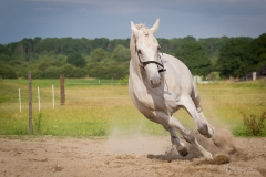 Holsteiner Percy 4