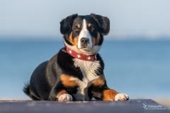 Appenzeller Sennenhund Bessy