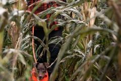 Brauner DJT beim Training zur Maisjagd