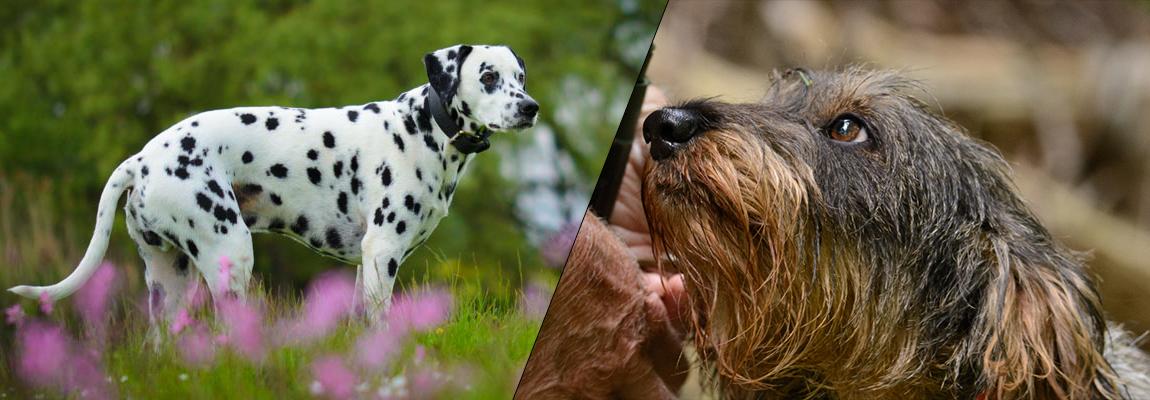 Haushunde und Jagdhunde