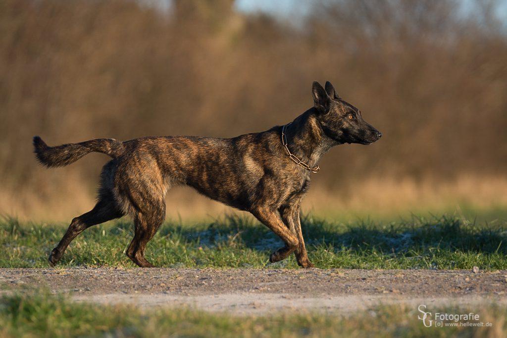 Herder - Polizei Diensthund